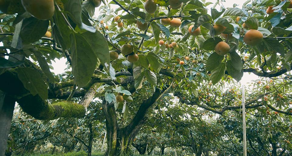 奈良吉野の果実園から 旬をお届けします